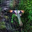 پرواز طاووس/ عکس