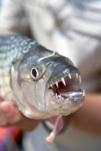 ماهی ببری