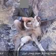 شکارچیان یک قوچ و یک کل وحشی در بردسیر کرمان دستگیر شدند