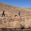نجات یک گرگ خاکستری زخمی در شهربابک کرمان