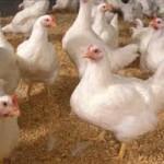 پاسخ طبیعی و فیزیولوژیکی پرنده به تنش گرمایی