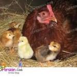 پرورش مرغ بومی در بستر، بهتر از نگهداری در قفس