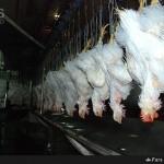 کشتار ، استحصال و بسته بندی گوشت طیور